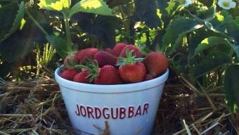 Plocka dina egna jordgubbar!