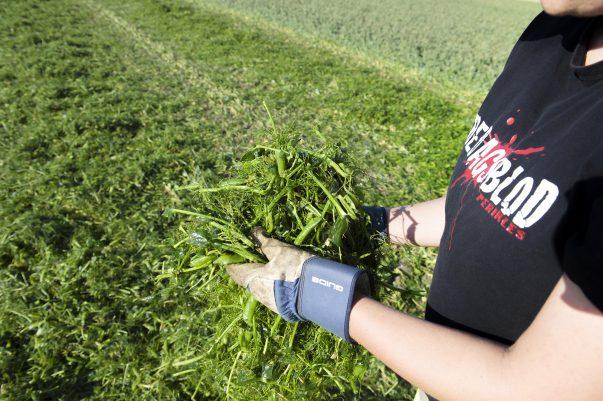 I år är det sista gången som man kan se de gulgröna ärttröskorna från Findus skörda ärtor på de skånska åkrarna. Detta efter nyheten i våras att Findus verksamhet i Bjuv läggs ner. I år ska fyra lag, i två skift, hjälpas åt att skörda drygt 33 000 ton ärtor i Skåne och Halland. Varje lag består av fyra ärttröskor som tröskar fälten i tur och ordning efter strikt schema. Skörden börjar normalt kring midsommar och håller på till slutet på augusti. Det varma vädret gjorde dock att tröskorna kom ut veckan före midsommar i år. Just nu befinner sig lag 4:a utanför Sjöbo. Inne i en av hytterna sitter Leo Månsson. Det är första året som han kör ärttröska. Han ställer in tröskan efter vad gruppchefen säger. Monica Jacobsen är gruppchef för skiftet. Hennes uppgift är bland annat att se till att tröskornas är rätt inställda. Det innebär att få ut så många hela ärtor som möjligt och helst inga krossade. Tröskan river loss hela klängen med ärtskidorna. Inne i tröskan åker det runt i en stor trumma och slås mot olika rotorer som separerar ärtorna från skidorna. Ärtorna åker vidare till en stor tank och resterna kastas ut. Monica går efter varje tröska och kontrollerar resterna så att ärtskidorna har pressats ordentligt och att därmed alla ärtor kommit ut. Med små justeringar får hon förarna att ställa in tröskorna perfekt. När ärtan väl är tröskad så ska de så snabbt som möjligt till Bjuv för att tvättas, kvalitetkontrolleras och sedan frysas ner. Från de att tröskan plockar upp ärtorna tills de är frusna får det inte gå mer än 3 timmar. Detta är grundpelaren till bland annat placeringen av fält och antal lastbilar. Av den planerade skörden på drygt 33 000 ton exporteras 75%. Största exportland är Italien.